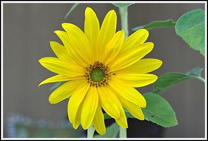 Sunflower Miniature Flower Seeds