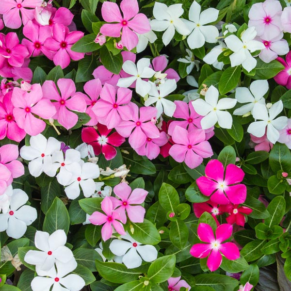 Vinca  Flower Seeds