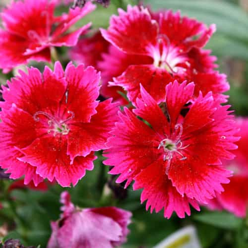 Dianthus Barbatus Flower Seeds