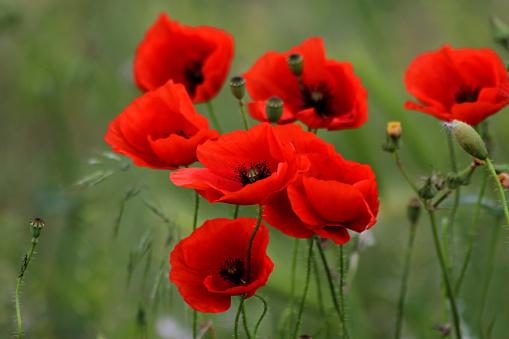 Poppy Flower Seeds